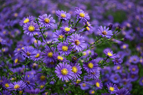 Purple blooming flower